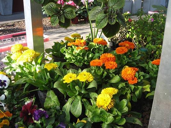 calendula abundancia plantas