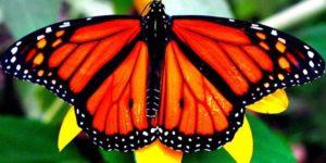 Significado esotérico de la Mariposa