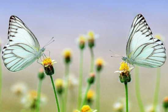 Mariposas en pareja