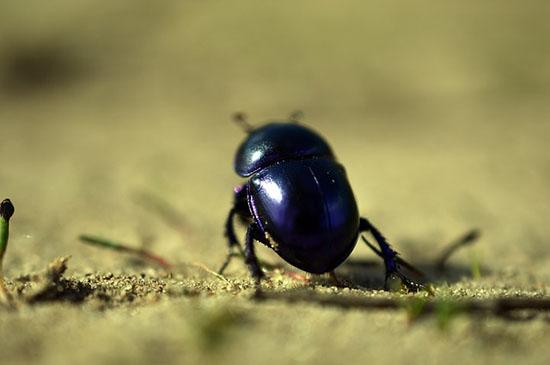 Escarabajo esotérico