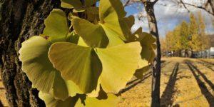 El árbol de Ginkgo: un símbolo de vitalidad