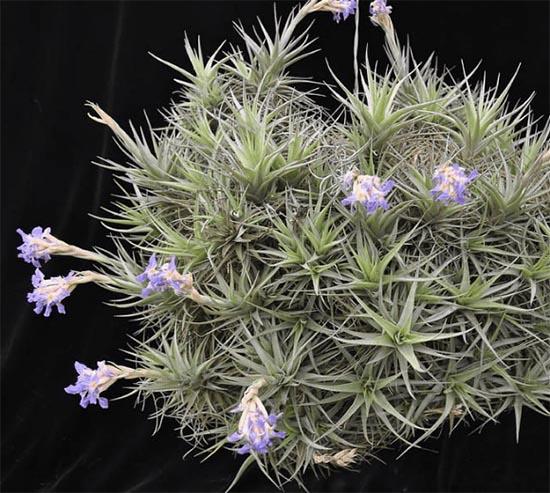 Tillandsia leyenda, como cultivar
