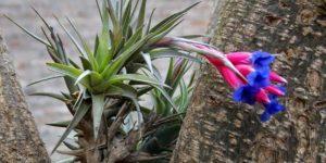 Claveles del aire o Tillandsia, cómo cultivarlos