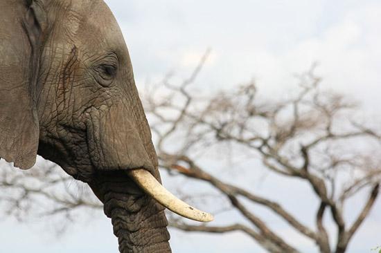 elefante animal espiritual